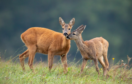 Intimate moment between mother roe deer, capreolus capreolus, doe and fawn touching with noses and standing close together on a meadow, iStock